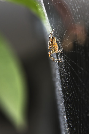 the spider on cobweb, embroidered from the drops of dew Stock Photo
