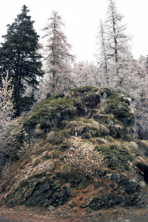 shrubs: The rock covered with shrubs and topped by snow-covered firs