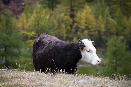 the cows on the pastures of the Aosta valley
