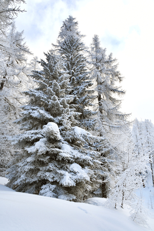 Mountain trees covered with snow