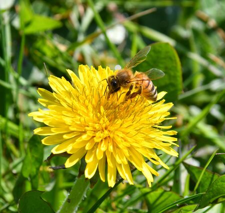 The bee collects nectar from the yellow flowers of the dandelion pollinates them Banco de Imagens