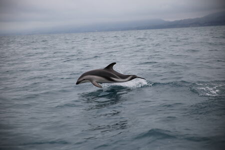 dusky: DOLPHIN IN NEW ZEALAND