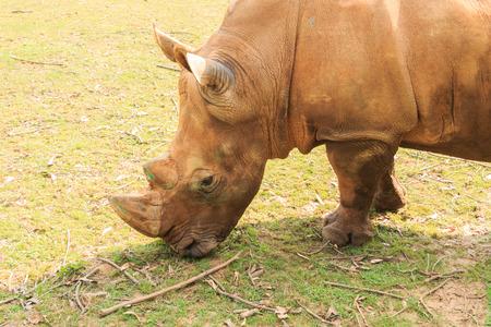 Detail of large white rhinoceros (Ceratotherium simum) photo