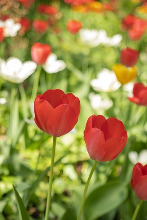 Tulip garden with variety of freshly flowers and greenery. Blooming Colorful Tulips in Spring Garden Close Up View. Red and White Fresh Tulip Flowers Arranged in Flower Bed. Nature Background of Tulips on Sunny Day, Outdoor Garden Field at the Park.