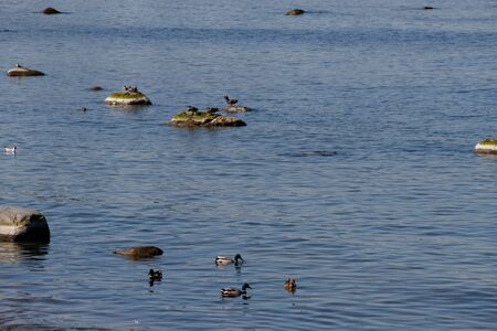 Beautiful ducks with blue plumage on the Baltic sea on a Sunny summer day. Banco de Imagens