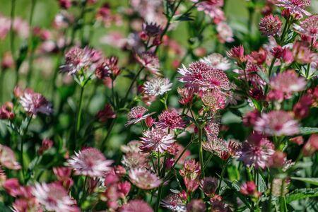 Astrantia major 'Roma' une plante à fleurs vivaces herbacées rose rouge couramment