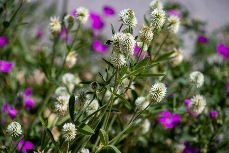 Wild meadow flower white Trifolium montanum close-up