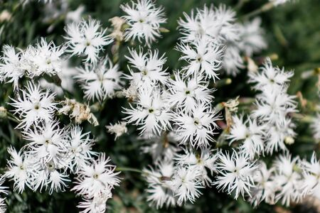 Rare plant Dianthus Avenarius or sand carnation white flowers close-up with green background