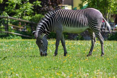 Beautiful striped Zebra grazing on a green meadow with dandelions on a Sunny spring day 免版税图像