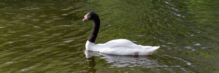 Gorgeous black-neck Swan important and proudly floats on the green water of the pond 写真素材