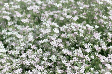 Creeping gypsophila-a flowering plant of the clove family, growing in the mountains of Central and southern Europe, called creeping plaster