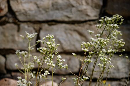 Stone wall and small white flowers, suitable for background 스톡 콘텐츠