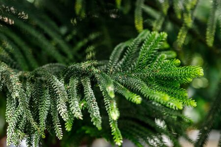 Araucaria heterophylla, it is sometimes called the star pine, the Norfolk pine, the triangular tree or the living Christmas tree. Araucaria pine for indoor and outdoor garden decoration and nature bac 写真素材