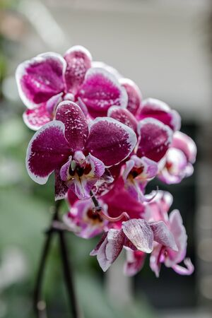 Orchid flower in the garden on a winter or spring day for design of beauty concept and postcard agriculture idea. Orchid Phalaenopsis. Bright flowers of different shades of pink