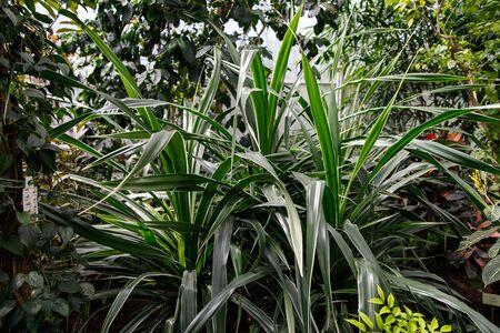 Garden foliage plant- Dracaena Deremensis - Warneckeii. Common name - Striped Dracaena, Dragon tree, Janet Craig. Family Asparagaceae.