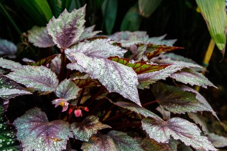 Begonia deliciosa is a popular home plant, bright leaves of different types of begonias are shot close up. Multi-colored begonia leaves of different types.