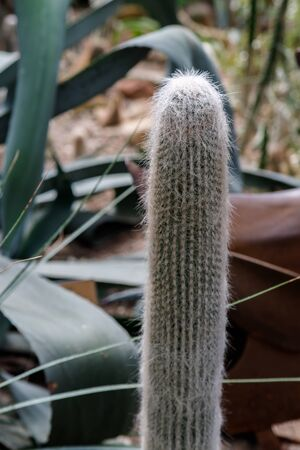 A drought-resistant desert plant is a cactus with white fluffy spines in a tropical garden.
