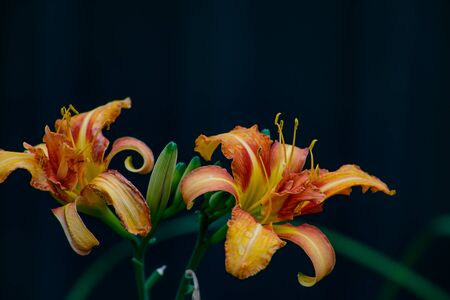 A beautiful Daylily blooms brightly on a a warm summer day. Standard-Bild - 129251004