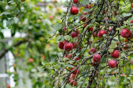 Organic apples hanging from a tree branch, apple fruit close up, large ripe apples clusters hanging heap on a tree branch in an intense apple orchard