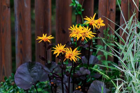 Flowers called doronicum bloom in a flowerbed in bright yellow .Texture or background. Standard-Bild - 129250794