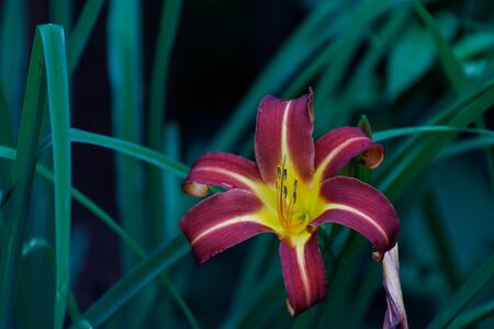 Purple lily or hemerocallis flowers in the garden. Flowers bloom in summer. Tongue flower coquetry.