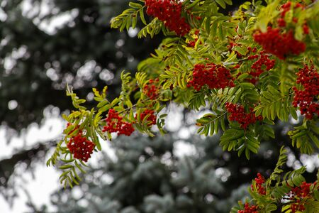 Autumn season. Fall harvest concept. Autumn rowan berries on branch. Amazing benefits of rowan berries. Rowan berries sour but rich vitamin C. Red berries and leaves on branch close up.