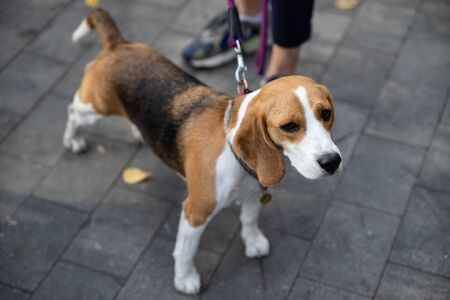 Beagle is a breed of hunting dogs bred in the UK. The Beagle is the smallest of the dogs. This breed was created for hunting rabbits on foot.