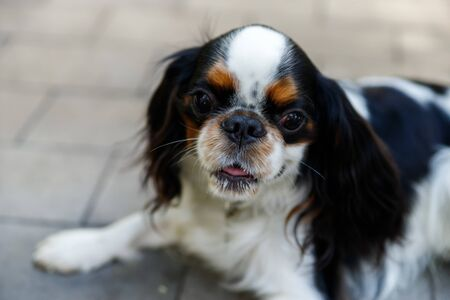 Cavalier King Charles Spaniel. The name of the breed comes from King Charles II Stuart, who loved this breed very much.