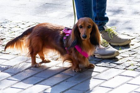 Long haired dachshund. Breeds of hunting dogs. Dachshund comes from the words badger and dog. The formation of the modern breed began in the XVI century in southern Germany Stock Photo