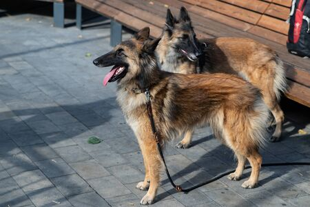Belgian Shepherd Service breed, combining the qualities of a shepherd and a search dog. Young dogs are preparing for the first competition in their lives.
