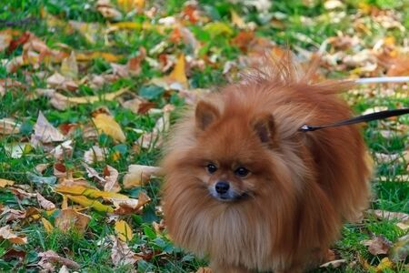 Breeds of domestic dogs. Pomeranian Spitz. Pomeranian dog belongs to the breed of toy dogs. Origin Germany. They are also called Zwergspitz, Dwarf Spitz, Loulou and Pom. Stock Photo