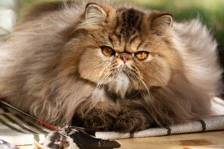 Persische Katze. Erwachsenes Tier. Die Katze wurde bei einem Spaziergang im Park aus nächster Nähe fotografiert. Herbst Standard-Bild