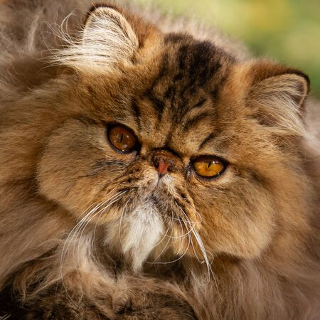Persian cat. Adult animal. The cat was photographed close-up on a walk in the park. Autumn