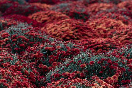 Sea of Chrysanthemums. Picturesque colorful art image. Chrysanthemum is a flower of many values. Death in Spain, joy in the USA, wisdom in China and declaration of love in Mexico. Archivio Fotografico