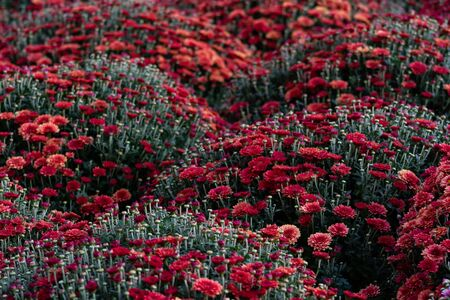 Sea of Chrysanthemums. Picturesque colorful art image. Chrysanthemum is a flower of many values. Death in Spain, joy in the USA, wisdom in China and declaration of love in Mexico. Reklamní fotografie