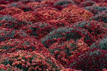 Sea of Chrysanthemums. Picturesque colorful art image. Chrysanthemum is a flower of many values. Death in Spain, joy in the USA, wisdom in China and declaration of love in Mexico.