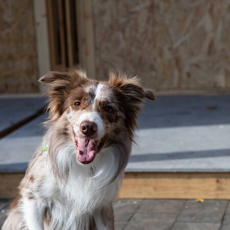 White-brown Border Collie dog. An old English breed of smart and moving shepherd dogs of medium size, a dexterous, very fast and agile dog. Her calm, sharp and attentive look gives the impression of a rare and extraordinary mind. 스톡 콘텐츠