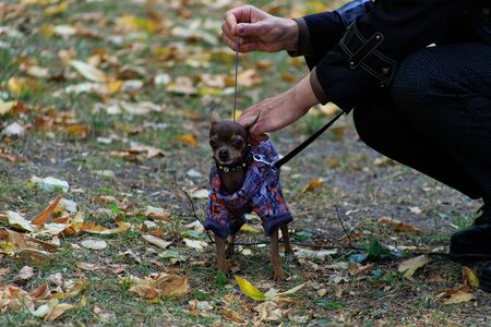 Chihuahuas are extremely small decorative dogs. On a cold autumn day, special dog clothes on him