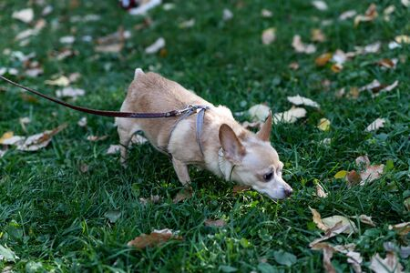 Chihuahuas have become incredibly popular as miniature tame dogs. Loyal Pets with a fun and light-minded