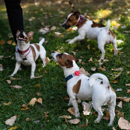 Puppy Jack Russell Terrier walking in the autumn Park. It is a recognizable and popular breed of dog. This is a pet with whom you will not be bored for a minute. Imagens