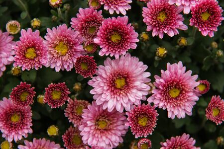 Colorful autumn mums or chrysanthemums for flowers background. Autumn bouquet.
