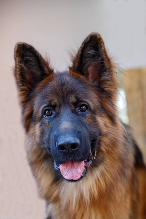 A popular breed of dog is the German Shepherd. Reliable, intelligent, loyal and fearless dog. Used as a bodyguard, watchman and guard. Close-up portrait.