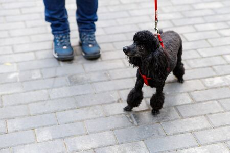 Good-natured black poodle with an elegant haircut. This is one of the oldest dog breeds.