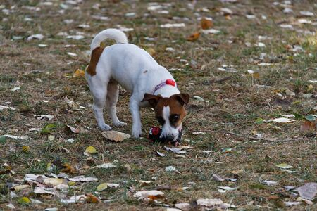 Dog Jack Russell Terrier walks in the autumn park. A popular breed of dog. A fun and funny pet.