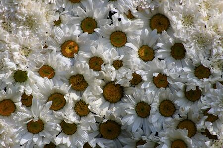 Flowering garden chamomile. Large white flowers. Chamomile background. Natural herbal treatment