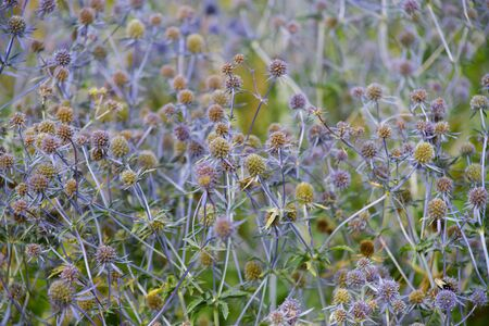 Abstract floral background of blue dried flowers blooming in the garden. Soft focus Zdjęcie Seryjne