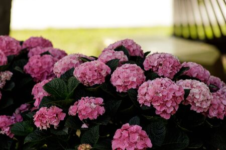 Hydrangea macrophylla, a beautiful Bush of large pink flowers in the garden