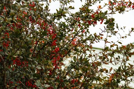 Bright red ripe barberry berries, Latin name Berberis Coronita, on the branches of a Bush in the autumn Park. Fall harvest concept. Stock Photo