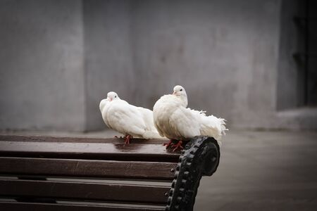 Two white pigeons sit side by side against the concrete walls. The concept of tenderness and care. Stock Photo