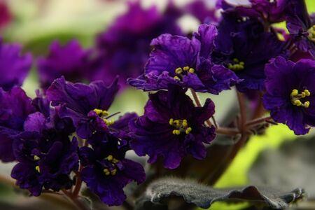 Beautiful Saintpaulia or Uzumbar violet. Pink indoor flowers close-up. Natural floral background. Banque d'images